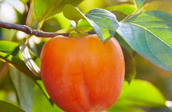 Hojas de Caqui - Ingrediente de Té Divina - Vida Divina