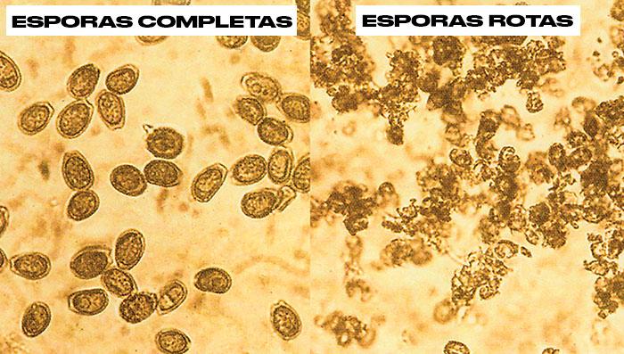 Esporas de reishi rotas y esporas de reishi completas